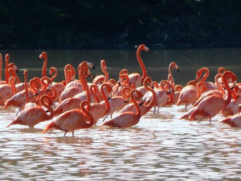 Flamingoes in a river