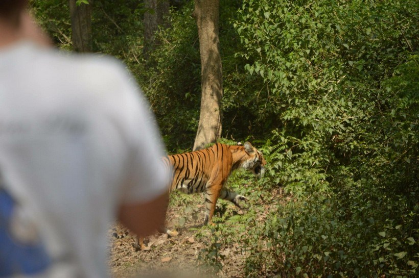 A tiger walks by students